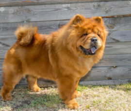 Dog Attacks by Chow Chows